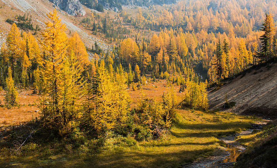 A quiet peaceful valley along the trail to the summit of Carne Mountain is filled with yellow and gold larches in the Central Cascade Mountain Range of Washington State.
