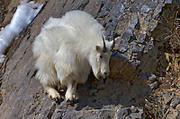 Mountain Goat, cliff, balance, sure footed, Snake River Range, Alpine, Wyoming