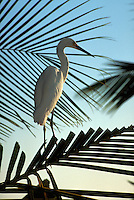 Great Egret amid palm fronds, Florida Keys. Florida.