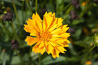 Golden yellow flower of Coreopsis Jethro Tull with fluted petals