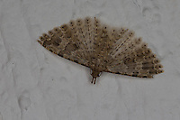 Geißblattgeistchen, Überwinterung im Haus, Geißblatt-Geistchen, Geissblattgeistchen, Geissblatt-Geistchen, Alucita hexadactyla, Alucita polydactyla, Phalaena hexadactyla, Twenty-plume Moth, twenty plume moth, Twenty-plumed Moth, Many-plumed moth, hibernation, overwinter survival in the house, Geistchen, Alucitidae