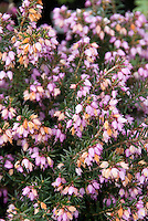 Heather Darley Dale Erica x darleyensis in prink bloom