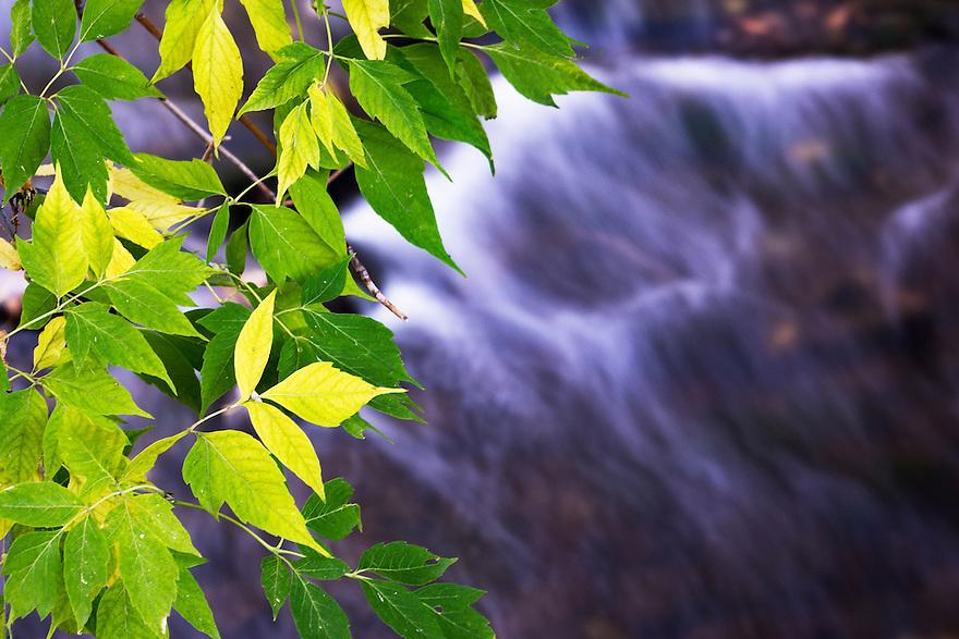 Box elder leaves change color over Bozeman Creek near downtown Bozeman, Montana.