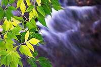 Box elder leaves change color over Bozeman Creek near downtown Bozeman, Montana.