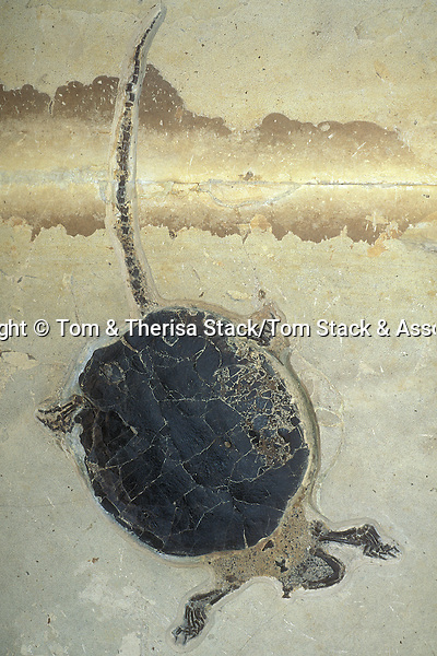 Fossil Turtle, Eocene, Wyoming, USA