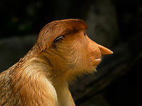 Proboscis Monkey at the Singapore zoo.