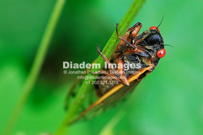 Macro view of a 17 year cycle cicada, Brood X.