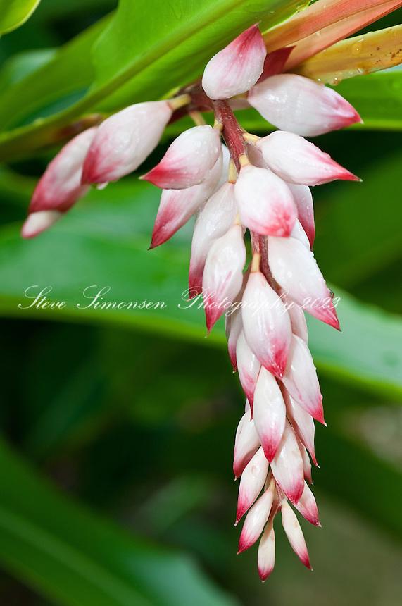 Ginger Blossom.St John, Virgin Islands