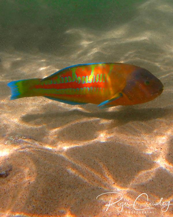 A tropical fish swims along the ocean floor on Kaua'i, Hawaii, in Poi'pu Bay.