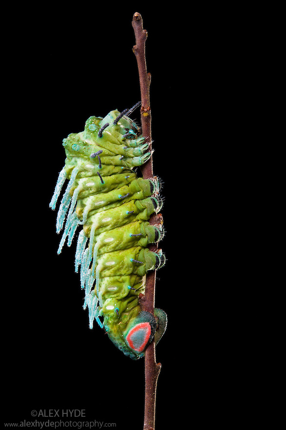Atlas Moth caterpillar {Attacus atlas} photographed against a black background. Captive, originating from Malaysia.