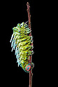 Atlas Moth caterpillar {Attacus atlas} photographed against a black background. Captive, originating from Malaysia. website