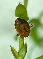Kugelschwimmer, Glatter Kugelschwimmer, mit Luftblase am Hinterende, Hyphydrus ovatus, Schwimmkäfer, Dytiscidae