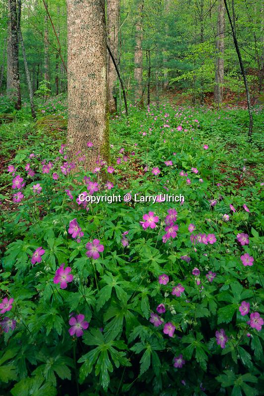 Wild geranium<br /> Oconaluftee River Valley<br /> Great Smoky Mountains<br /> Great Smoky Mountains National Park,  North Carolina