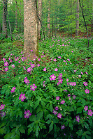 Wild geranium<br />