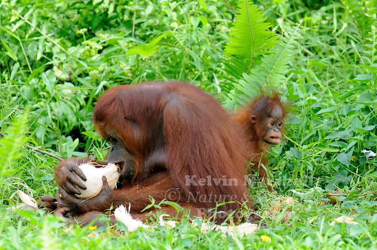 Adult Female Orangutan (Pongo pygmaeus)  with Juvenile tearing a coconut apart to eat. - Samboja Lestari National Park is the location of Samboja Lodge as part of BOS (The Borneo Orangutan Survival Foundation)