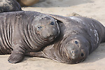 Elephant seal weaners. Ano Nuevo State Park, CA. 2-19-12  Frank Balthis,  FB-S161  4x6 postcard front photo.