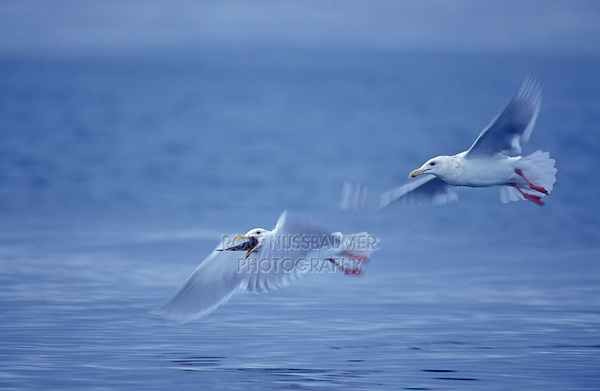 Glaucous-winged Gull, Larus glaucescens,adults in flight with fish prey, Homer, Alaska, USA