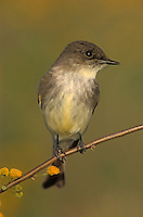 Eastern Phoebe, Sayornis phoebe, adult on on blooming Huisache (Acacia farnesiana) , Willacy County, Rio Grande Valley, Texas, USA
