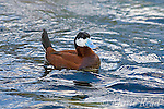 Ruddy Duck (Oxyura jamaicensis), male in breeding plumage, California, USA (Captive)