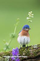 01377-17916 Eastern Bluebird (Sialia sialis) male in flower garden, Marion Co., IL