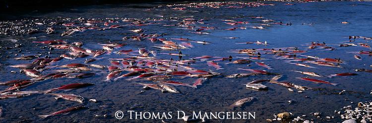 Dead salmon in a river on the Alaska Peninsula during the salmon run.