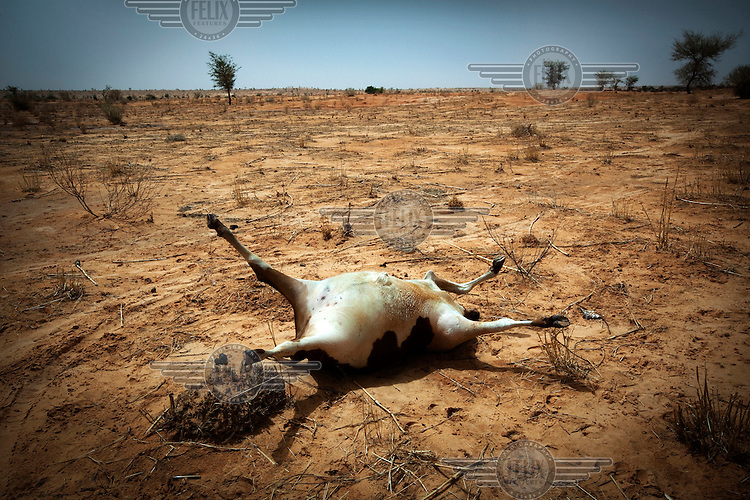 A dead cow lies on the ground after heavy rainfall. Weakened by a period of draught, heavy rainfall then caused animals to become stressed causing them to die from heart attacks.