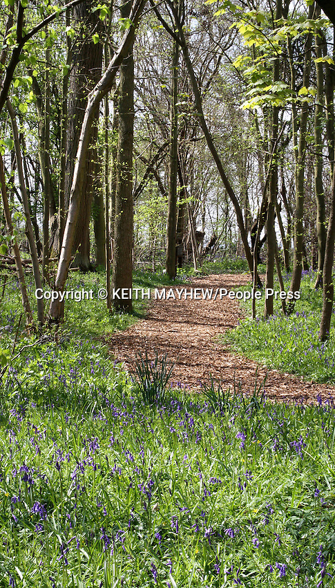 Bedfordshire - A blanket of British Bluebells in woodland at Moggerhanger Park, Bedfordshire - April 13th 2012..Photo by Keith Mayhew.