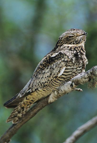 Lesser Nighthawk, Chordeiles acutipennis , male on branch, Lake Corpus Christi, Texas, USA, May 2003