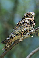 Lesser Nighthawk, Chordeiles acutipennis , male on branch, Lake Corpus Christi, Texas, USA, May 2003
