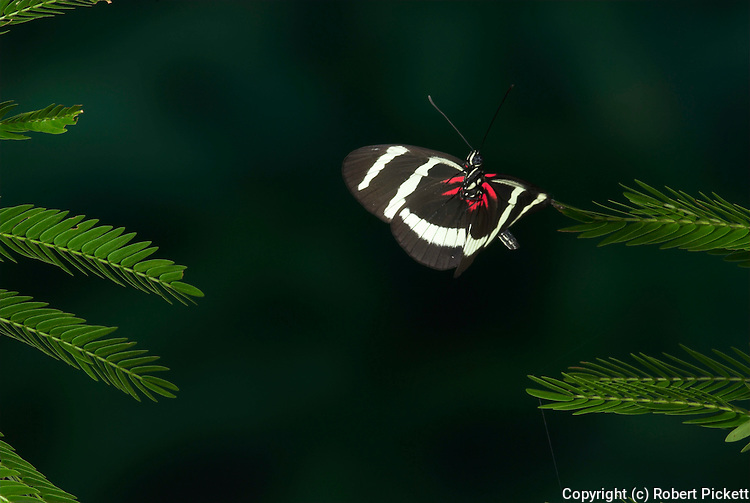 Heliconius pachinus Butterfly, in flight, Costa Rica, High Speed photographic technique, free flying, black and white stripes, zebra, endemic to the Pacific slope of Costa Rica and western Panama. It is involved in Müllerian mimicry with H. hewitsoni.Central America....