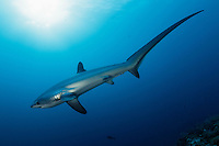 RA50035-D. Pelagic Thresher Shark (Alopias pelagicus). Philippines. Tropical Indo-Pacific oceans. Photo Copyright © Brandon Cole. All rights reserved worldwide.  www.brandoncole.com