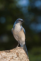 Western Scrub-Jay,  Aphelocoma californica, adult, Uvalde County, Hill Country, Texas, USA, April 2006