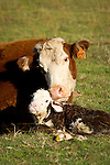 Cow No. 322 nudges and bonds her newborn calf at the Stoney Creek Corrals of the Busi Ranch, Amador County, Calif.