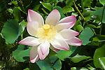 Lotus Flower, Hawaii