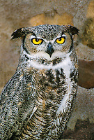 564050002 portrait of a great horned owl bubo virginianus - animal is a wildlife rescue raptor