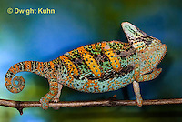CH39-523z  Male Veiled Chameleon in display colors, Chamaeleo calyptratus