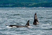 resident orca or killer whale, Orcinus orca, swimming in the Inside Passage in Vancouver Island, British Columbia, Canada, Pacific Ocean
