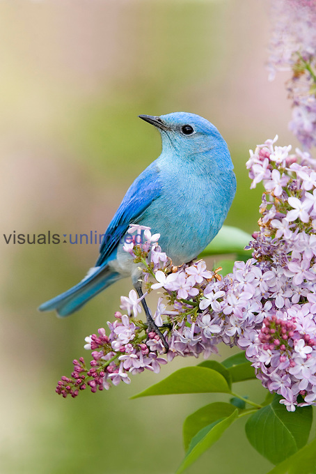 Mountain Bluebird perched on a flowering Lilac (Sialia currucoides), Western USA.