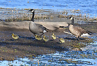 Courtesy photo/TERRY STANFILL<br /> LAKESIDE STROLL<br /> Canada geese and their young walk the shore of Swepco Lake west of Gentry on March 31.