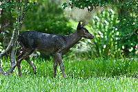 Black White-tailed Deer Fawn