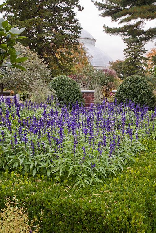 Salvia farinacea 'Victoria' in Buxus sinica var.insularis 'Winter Gem' boxwood, NY Botanical Garden, Bronx, New York