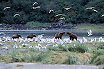 Alaskan Brown Bear (Ursus arctos) Southeast, AK - 4 bears on stream with gulls