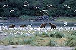 Alaskan Brown Bear (Ursus arctos) Southeast, AK - 4 bears on stream with gulls