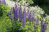 Vielblättrige Lupine, Stauden-Lupine, Staudenlupine, Lupinen, Lupinus polyphyllus, Large-leaved Lupine, Big-leaved Lupine, Garden Lupin