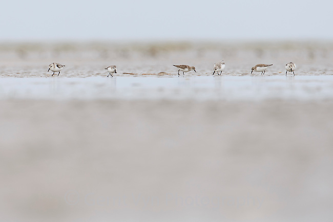 A Spoon-billed Sandpiper joins other long distance migratory shorebirds feeding on mudflats near Rudong, China. October.