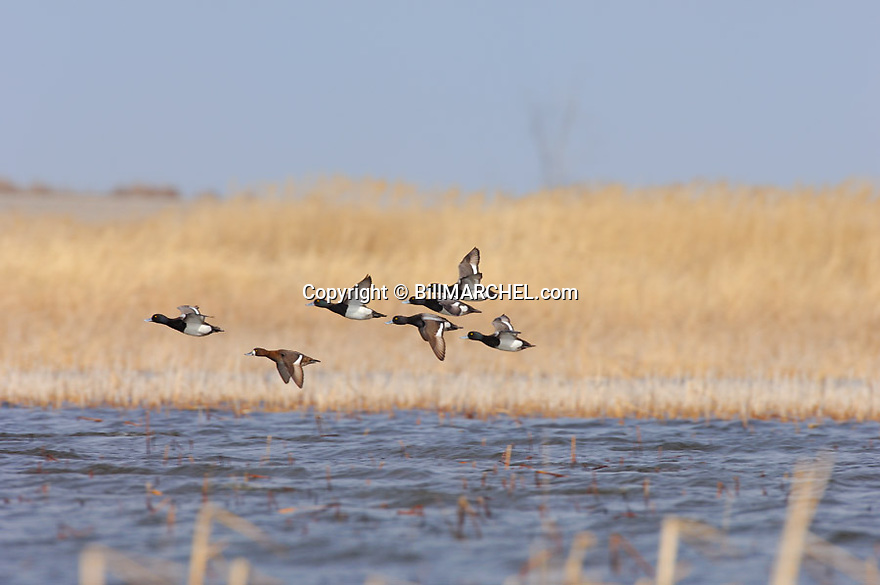 00342-010.12 Lesser Scaup (DIGITAL) flock in flight low over marsh.  Hunt, bluebill, phragmites, wetlands, fly, action.  H1L1