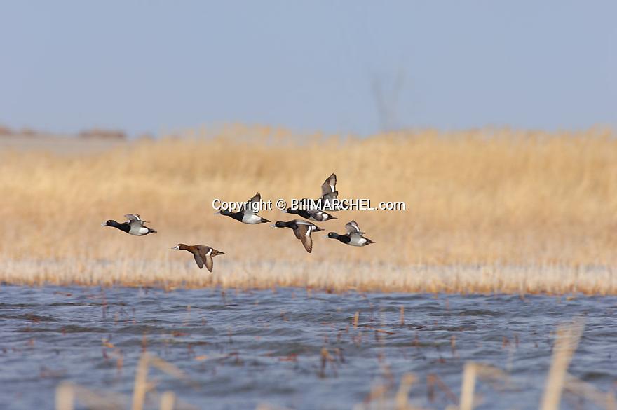 00342-010.12 Lesser Scaup (DIGITAL) flock in flight low over marsh.  Hunt, bluebill, phragmites, wetlands, fly, action.  H1L1
