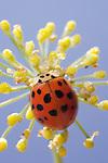 Ladybug on a Fennal Flower
