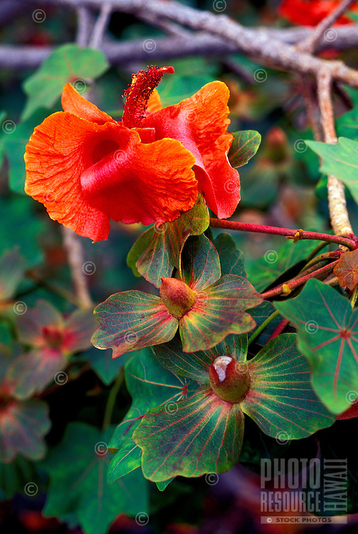 The kokia drynarioides flower (Malvaceae) in various stages, an endangered native Hawaiian plant, Kaupulehu