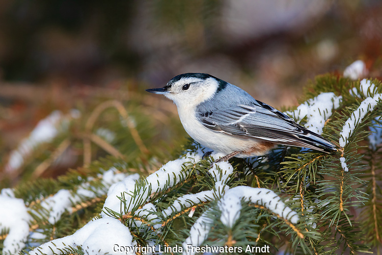 White-breasted nuthatch perched on a snow-covered spruce tree.
